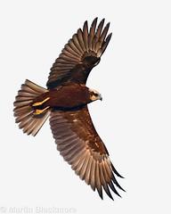 Marsh Harrier (8x10) 118718 (wildlifetog) Tags: mbiow martin marsh harrier blackmore britishisles britain bird british brading isleofwight uk wild wildlife nature wings inflight canon england european eos7dmkii rspb marshes
