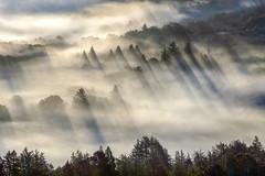 Shadow Beams (rootswalker) Tags: fog beams shadows redwoods santacruzmountains morninglight fun
