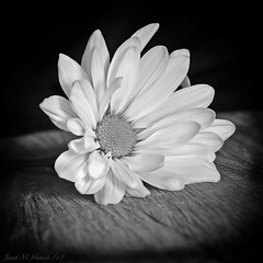 Inspired by Ansel (jmhutnik) Tags: daisy monochrome blackandwhite dof