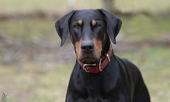 Riley looking serious... (Riley-Dobe) Tags: riley doberman dog black handsome bokeh d500 70200mm28