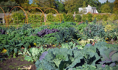 Greens (Andrew Gustar) Tags: gordon castle walled garden fochabers cabbage broccoli cavalo nero kale green