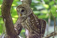 20170517-DSC_6097 (Corvid1) Tags: boggarden barredowl raptor