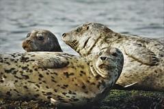 A herd of harbour seals (Phoca vitulina) (Rudi Verspoor) Tags: sealife seal flipper blubber canada animal nature bc telephoto