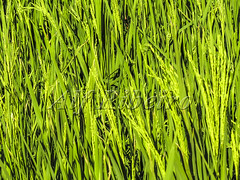 Alf 0002 - 0502 (Alf Ribeiro) Tags: agribusiness agriculture brazil brazilian cereal closeup economy leaving riograndedosul rural work agricultural background backgrounds business crop detail environment farm farming farmland field foliage food freshness grain grass green growth happiness husk land lush meadow natural nature outdoor plant plantation production rice ripe season seed staple stem