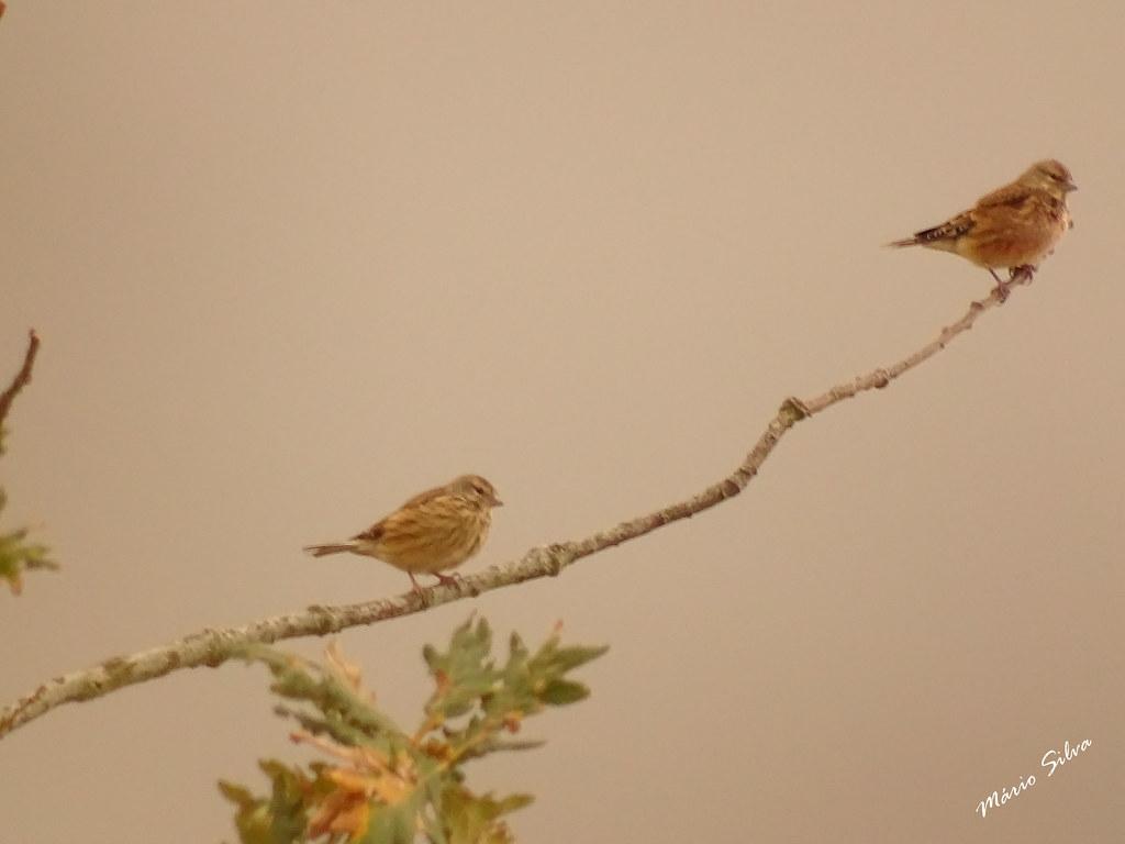 Águas Frias (Chaves) - ... um par de aves nun só fino ramo ...