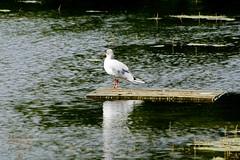 Seagull (Jurek.P) Tags: birds bird seagull mewa park citypark warsaw warszawa poland polska water jurekp sonya77