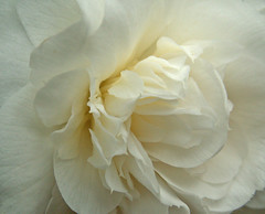Side View of a White Camellia (Cornishcarolin. Stupid busy!! xx) Tags: cornwall httpswwwnationaltrustorguktrelissick nature flowers camellias white2