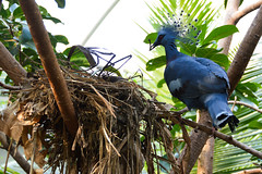 Victoria Crowned Pigeon (Goura victoria) (Seventh Heaven Photography) Tags: victoria crowned pigeon goura gouravictoria near threatened blue aves bird nest nesting nikond3200 chester zoo cheshire