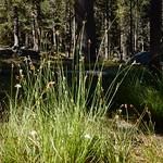 Carex mariposana thumbnail