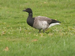 Brant, Payson Park Front Lawn (Bill Bunn) Tags: brant goose portland maine