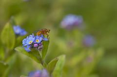 Myosotis (4) (JLM62380) Tags: myosotis fleur flower nature macro bleu blue plante sauvage botanic botanique mouche fly bug insecte insect