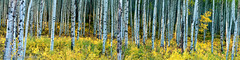 Sunrise in an Aspen Grove (OJeffrey Photography) Tags: aspentrees aspen aspengrove grove trees fallcolors fallcolor golden yellow panorama pano colorado coloradorockymountains co ojeffreyphotography ojeffrey jeffowens nikon d850