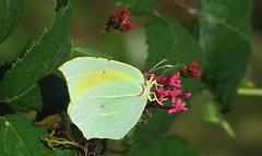 Cleopatra butterfly (Elisa1880) Tags: lousa gonepteryx cleopatra butterfly vlinder insect portugal lousã
