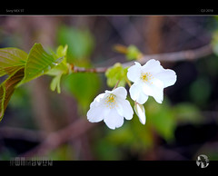 Delicate Signs of Spring MMXVIII (tomraven) Tags: spring flowers blossom tree macro flower flowermacro 35mm manualfocus bokeh light q32018 sony nex5t 35mmlens