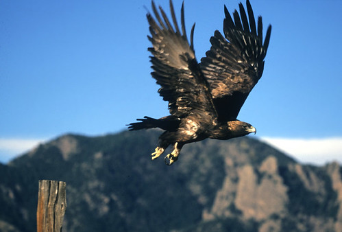 Photo - Golden Eagle