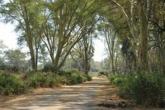 Fever Tree Forest / Koorsboom Woud  ( Kruger National Park ) (Pixi2011) Tags: trees krugernationalpark southafrica africa nature