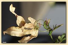 Strip-tease automnal ! (Armelle85) Tags: extérieur nature automne feuille plante macro