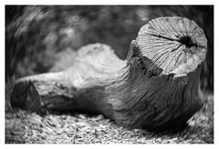 Decapitated (leo.roos) Tags: stump stobbe stronk stomp noiretblanc bos dead dood wood hout hyacintenbos denhaag thehague swirly branch tak tree boom stam trunk a7 iscogöttingenduotar8515 projectorlens projectionlens darosa leoroos