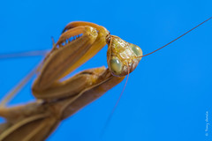 Praying Mantis (Mantis religiosa) (Tony Varela Photography) Tags: canon mantid mantisreligiosa photographertonyvarela prayingmantis predator insect