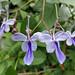 Delicate purple flowers of the Butterfly Bush