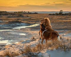 Island Horses by John Whaley (Maryland DNR) Tags: 2018 photocontest wildlife mammals ponies assateague