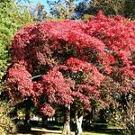 Red Autumn Maple thumbnail