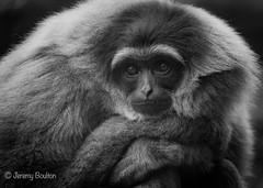 Fed Up (JKmedia) Tags: boultonphotography gibbon blackwhite chesterzoo bw arms folded primate monkey ape animal furry 2018 eye brows