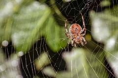 Spinne (prickelpitt) Tags: tier animal spinne spyder natur nature draussen outdoor