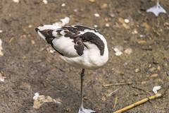 RELAX (Ezio Donati is ) Tags: uccelli birds animali animals acqua water italia parcodelticino provinciadipavia