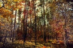Autumn Expressionism (Alfred Grupstra) Tags: forest tree nature autumn leaf woodland outdoors yellow landscape orangecolor sunlight season red scenics multicolored beautyinnature branch lushfoliage greencolor goldcolored