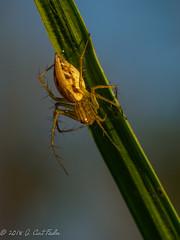(umijin) Tags: araneae arthropoda chelicerata guahan guam lynxspider mangilao oxyopidae raynoxm250 territoryofguam uog usa universityofguam animal arthropod biologyterm chelicerate female spider