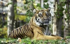 Tiger (G. Maxwell) Tags: 2018 em1mkii olym40150mmf28 olympus places ontario scarborough torontozoo portrait zuiko