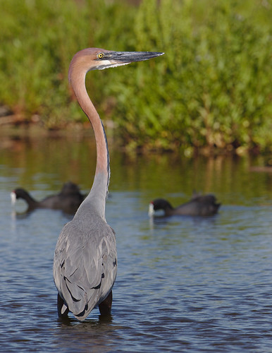"Goliath Heron, Ardea goliath at Marievale Nature Reserve, Gauteng, South Africa • <a style=""font-size:0.8em;"" href=""http://www.flickr.com/photos/93242958@N00/43682835850/"" target=""_blank"">View on Flickr</a>"