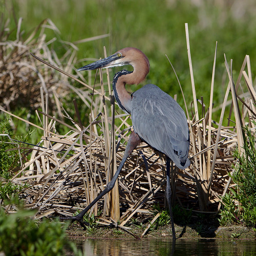 """Goliath Heron, Ardea goliath at Marievale Nature Reserve, Gauten • <a style=""""font-size:0.8em;"""" href=""""http://www.flickr.com/photos/93242958@N00/43682842260/"""" target=""""_blank"""">View on Flickr</a>"""