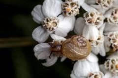 Always at Home - _TNY_0767 (Calle Söderberg) Tags: macro canon canoneos5dmarkii canon5dmkii canonef100mmf28usmmacro 5d2 canon5dmarkii flash meike mk300 glassdiffusor raynox dcr250 yarrow commonyarrow achillea millefolium rölleka flower white snail shell snäcka snigel gastropoda mollusca blötdjur f27