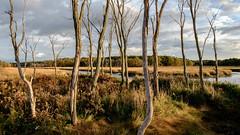 Ghost Trees, Scarborough Marsh (jtr27) Tags: dscf1884xl jtr27 fujifilm xe2s xtrans samyang rokinon 16mm f2 f20 wideangle manualfocus marsh saltmarsh scarborough maine newengland ghosttrees landscape