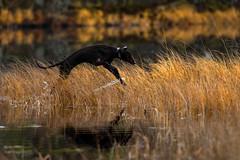 Dog enjoying autumn in Finland (VisitLakeland) Tags: finland lakeland aamu autumn dog heijastus järvi koira lake luonto maisema mirror morning nature outdoor peili reflection scenery syksy