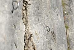 Who needs climbing rings? (willjatkins) Tags: animal nature wildlife quarrywildlife climbing reptiles reptile lizard lizardsofeurope lizards britishwildlife britishamphibiansandreptiles britishreptilesandamphibians britishreptiles britishlizards walllizard podarcis podarcismuralis ukwildlife ukreptilesandamphibians ukamphibiansandreptiles ukreptiles uklizards dorsetwildlife dorsetreptiles dorsetlizards portlandwildlife nikond610 nikon animalinhabitat