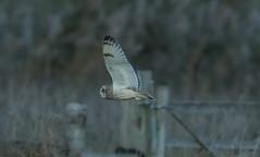 Short Eared Owl-7838 (seandarcy2) Tags: owl birds wildlife fenland cambs uk shorteared birdsofprey handheld raptors