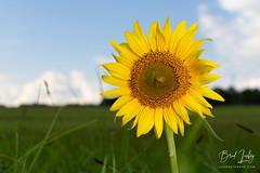 Summer Days (Brad Lackey) Tags: field summer clouds grass pasture bloom leaves stalk woods nature outdoorsy strobist sb700 nikon35mmf18 d7200
