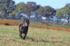 IMG_012420 - Country girl (Monique van Gompel) Tags: dog zaynah canecorso pet hond fields outdoor happy running hiking happygirl countrygirl fun dogfun