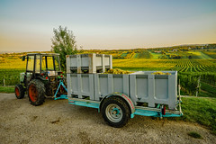 the grape harvest (a7m2) Tags: austria loweraustria mödling perchtoldsdorf weinlese weinberge weinbau natur obst grapes wandern erholung heurigen travel tourismus landwirtschaft