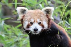 1783 MIGNON (rustinejean) Tags: rustine panda pandaroux animal nature mignon adorable