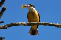 Sacred Kingfisher with prawn_4164 (Todiramphus sanctus) (Neil H Mansfield) Tags: nature native lake laurieton nsw australia todiramphussanctus sacredkingfisher kingfisher