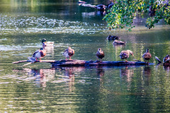 ducks_on_pond-2_MaxHDR_Dehaze_Contrast (old_hippy1948) Tags: log ducks