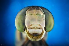 Happy Face (Dragonfly) (Can Tunçer) Tags: can cantunçer cantuncer canon canon6d closer macro makro macros macrophotography micro mikro makros microscope microscop lomo37 lomo lomo37x tunçer turkey turkiye türkiye tuncer stack stacking izmir ikea
