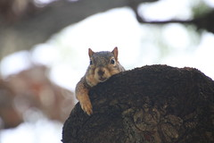 114/365/3766 (October 3, 2018) - Birthday Squirrels in Ann Arbor at the University of Michigan - October 3rd, 2018 (cseeman) Tags: gobluesquirrels squirrels annarbor michigan animal campus universityofmichigan umsquirrels10032018 fall autumn eating peanut acorns octoberumsquirrel birthdaysquirrels 2018project365coreys yearelevenproject365coreys project365 p365cs102018 356project2018 foxsquirrels easternfoxsquirrels michiganfoxsquirrels universityofmichiganfoxsquirrels