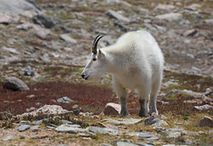 Mountain Goat (ashockenberry) Tags: mammal majestic mountains mountain naturephotography nature natural northern beautiful grassland game grazing travel tourism reserve wildlife wildlifephotography wild wilderness west ashleyhockenberryphotography animal beauty park alpine goat habitat herbivore eco