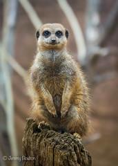 Sentry Post (JKmedia) Tags: meerkat boultonphotography chesterzoo 2018