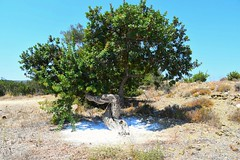 Masticha Tree #chios #greece #masticha #tree #unique (Nikos Siahos) Tags: greece masticha chios tree unique nature travel island